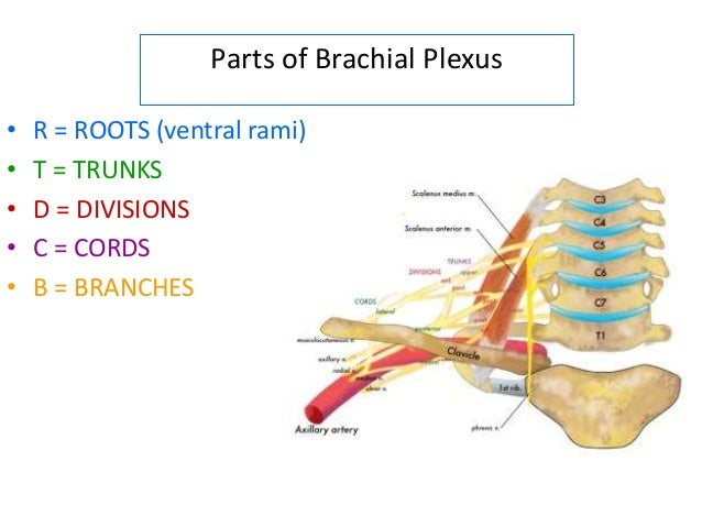 brachial plexus applied anatomy