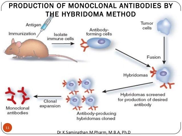 11 PRODUCTION OF MONOCLONAL ANTIBODIES BY THE HYBRIDOMA METHOD Dr.K.Saminathan.M.Pharm, M.B.A, Ph.D
