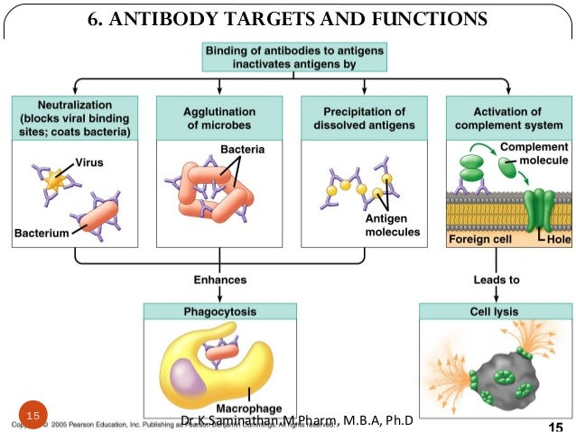 15 6. ANTIBODY TARGETS AND FUNCTIONS 15 Dr.K.Saminathan.M.Pharm, M.B.A, Ph.D