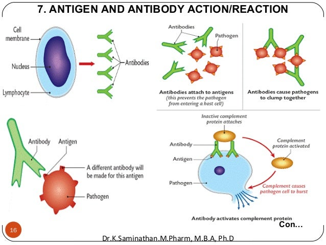 7. ANTIGEN AND ANTIBODY ACTION/REACTION Con… 16 Dr.K.Saminathan.M.Pharm, M.B.A, Ph.D