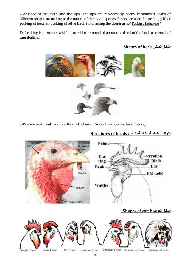 10 2-Absence of the teeth and the lips. The lips are replaced by horny keratinized beaks of different shapes according to ...