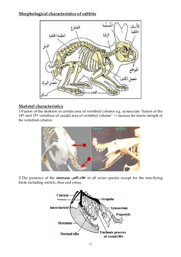 11 Morphological characteristics of rabbits Skeletal characteristics 1-Fusion of the skeleton in certain area of vertebral...