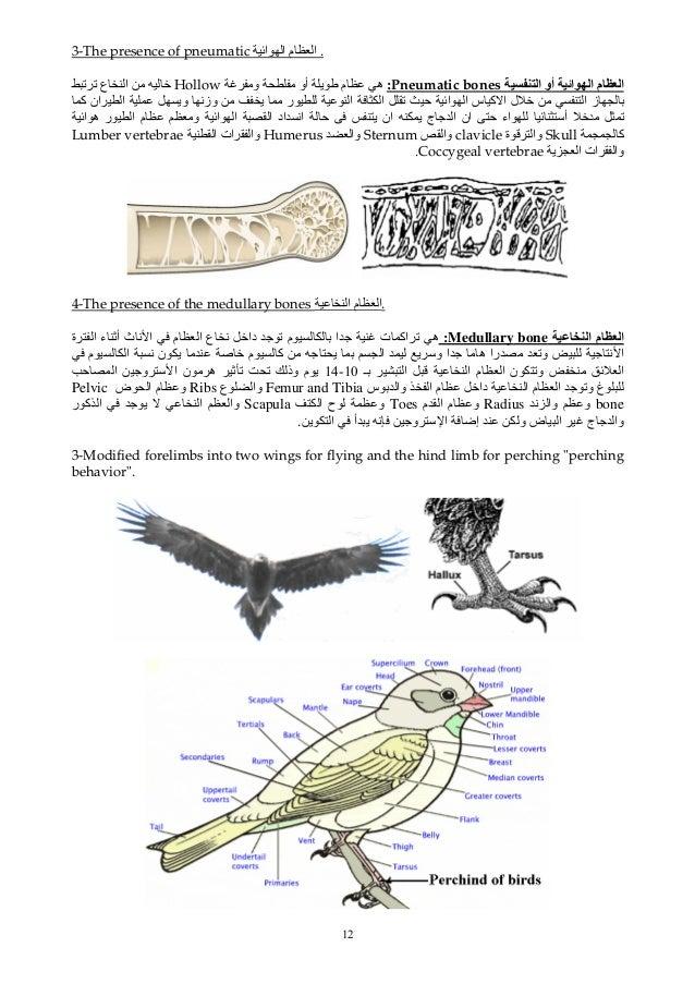 12 3-The presence of pneumatic اﺉ ا م ا . ا أو اﺉ ا م اPneumatic bones:و أو ی م هHollowﺕ ...