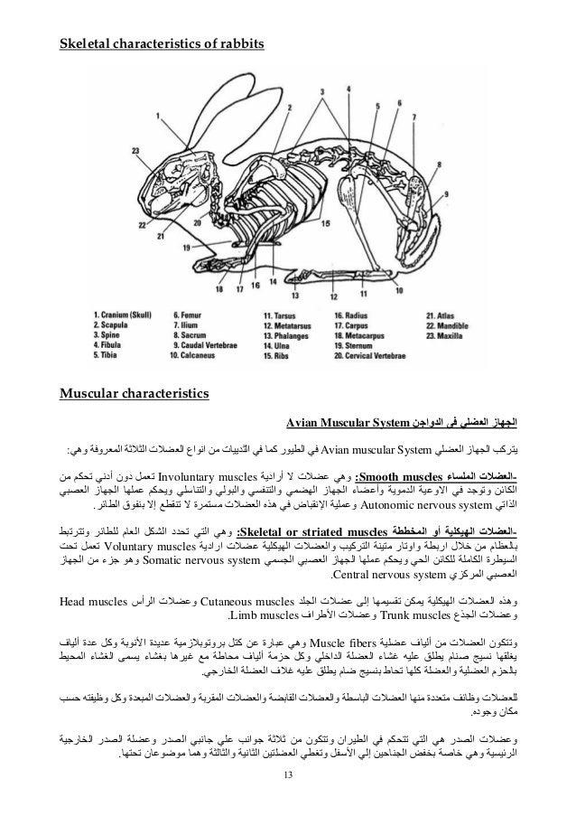 13 Skeletal characteristics of rabbits Muscular characteristics وا ا ا ز اAvian Muscular System ا ز ا آ ...