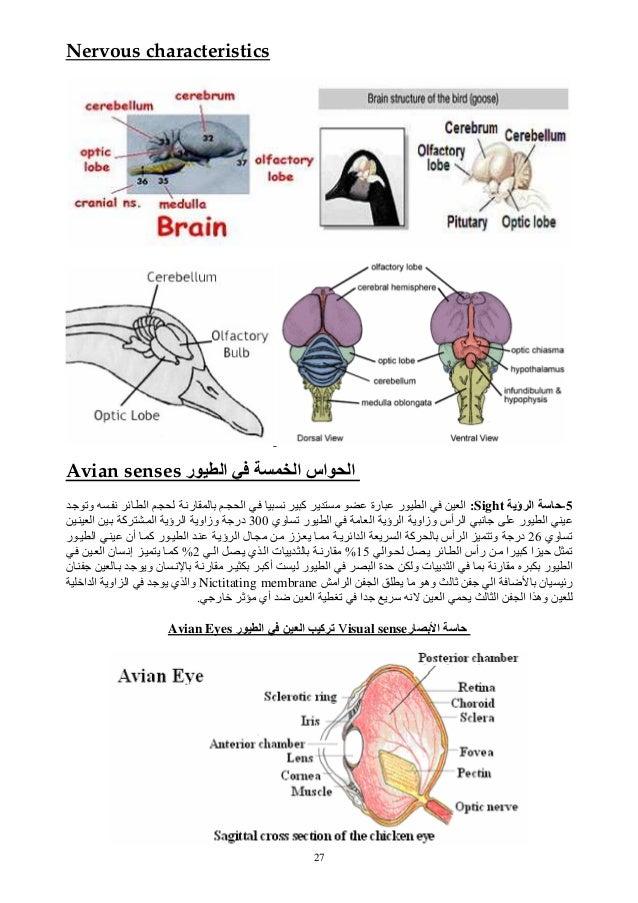 27 Nervous characteristics Avian senses ر ا ا اس ا 5-ؤی اSight:وﺕ ﻥ ﺉ ا رﻥ ا ﻥ آ ی رة ر...