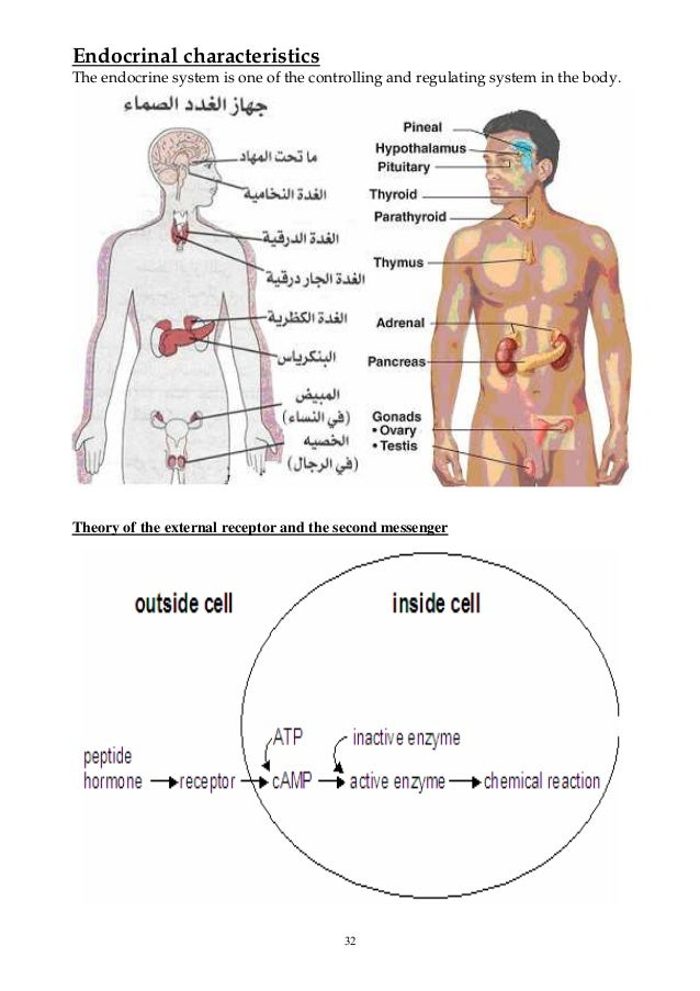 32 Endocrinal characteristics The endocrine system is one of the controlling and regulating system in the body. Theory of ...