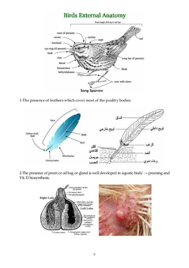 9 1-The presence of feathers which cover most of the poultry bodies. 2-The presence of preen or oil bag or gland is well d...