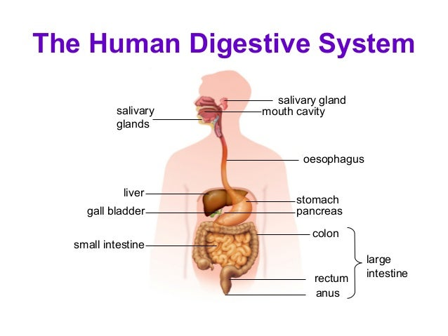 11. human digestive system - e-learning, Human Body