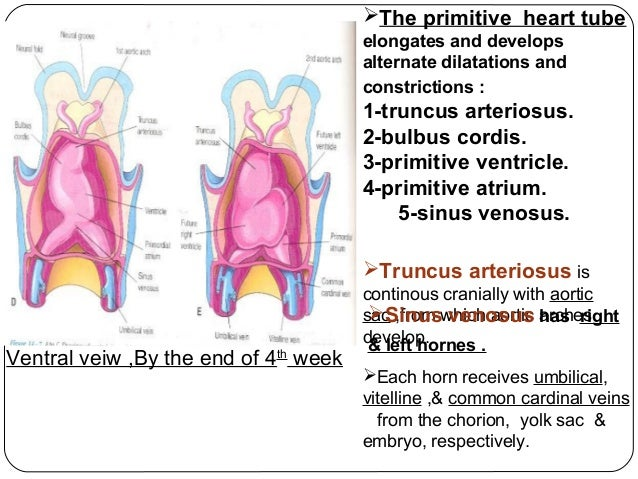 Aponeurosis additionally Full besides Book   The Early Embryology of the Chick 9 besides Cma Tmiky Exam 1 Flash Cards additionally Print. on dorsal and ventral regions
