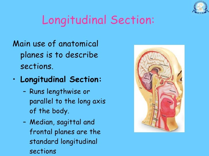 Longitudinal section anatomy