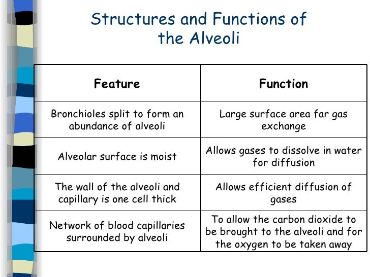relationship between structure and function of alveoli