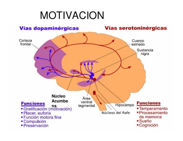 11 Cortezas De Asociación Lenguaje Y Motivación