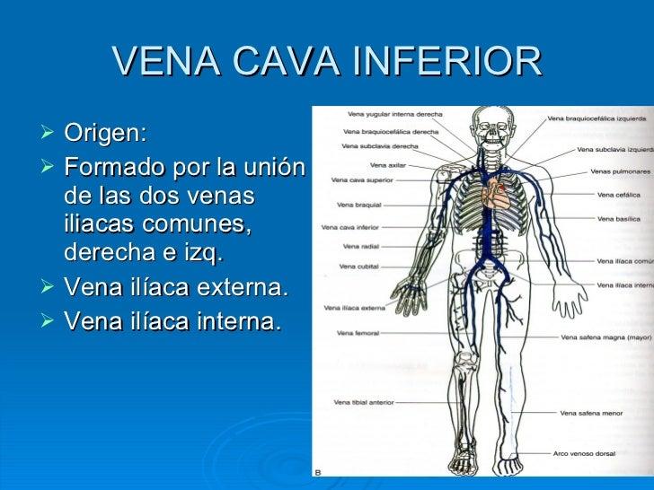 where do the inferior and superior vena cava meet