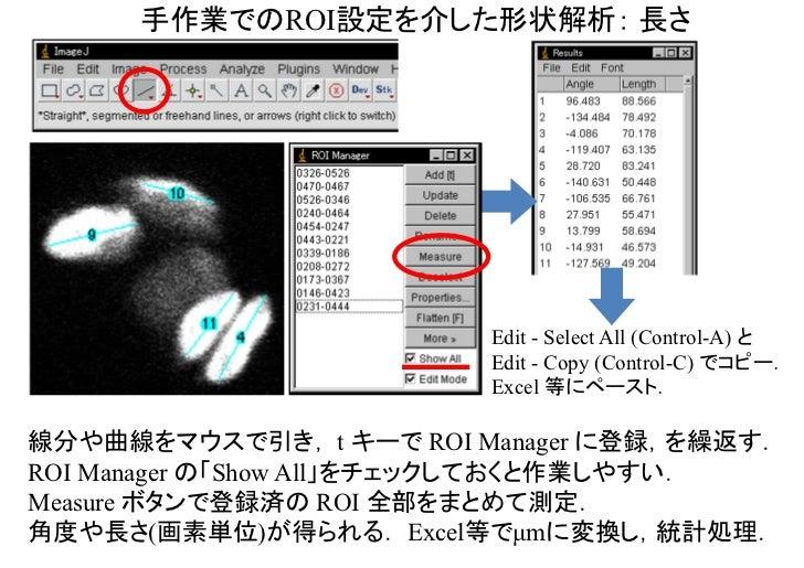 手作業でのROI設定を介した形状解析: 長さ                         Edit - Select All (Control-A) と                         Edit - Copy (Contro...