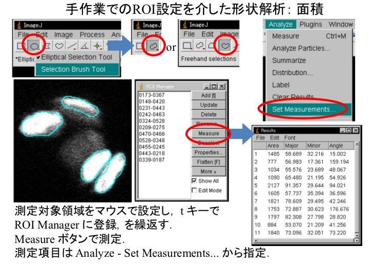 手作業でのROI設定を介した形状解析: 面積                       or測定対象領域をマウスで設定し, t キーでROI Manager に登録,を繰返す.Measure ボタンで測定.測定項目は Analyze - Se...