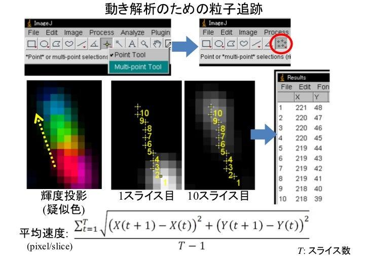動き解析のためのカイモグラフ最大輝度投影       1スライス目         10スライス目              Plugins - kbi - Kbi_DynProf - kymoStatic                   ...