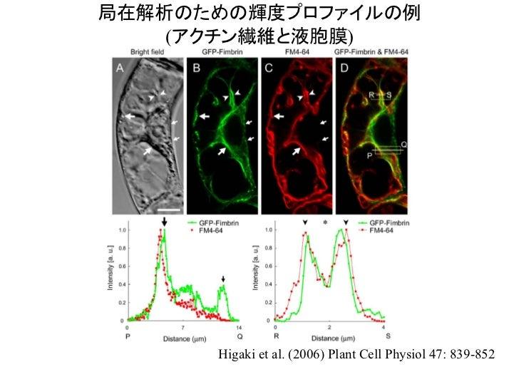 輝度・構造解析のための輝度プロファイルの例(液胞膜)           Uemura et al. (2002) Genes to Cells 7: 743-753.