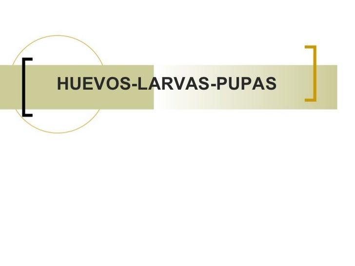 HUEVOS-LARVAS-PUPAS