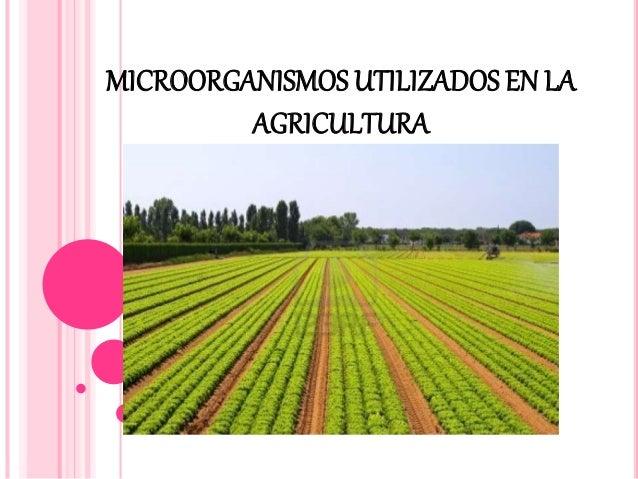MICROORGANISMOS UTILIZADOS EN LA AGRICULTURA