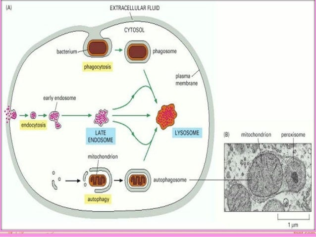 Role Of Lysosomes As Hyrolaytic Activity Of An Enzymes