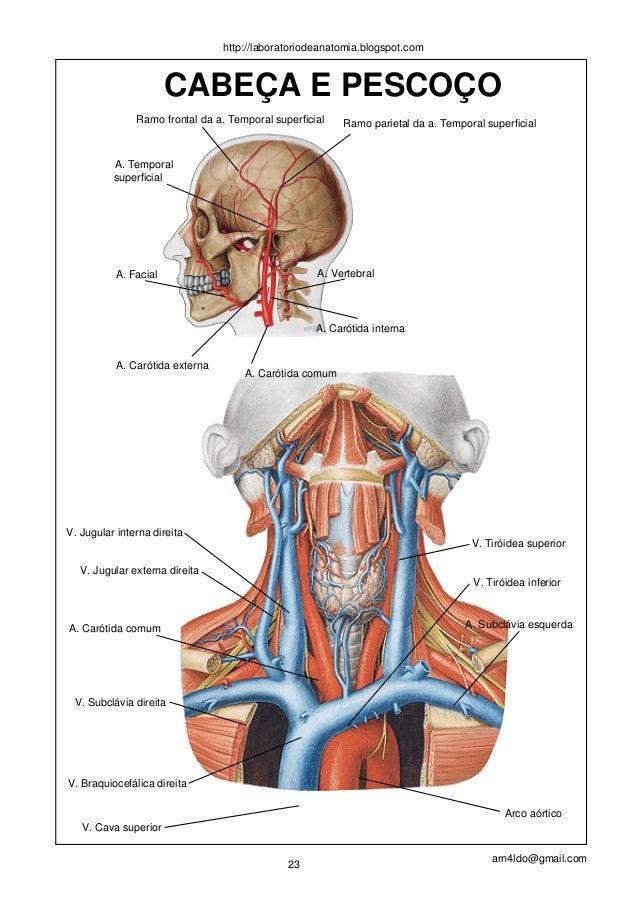 Dorable Cara Anatomía Vascular Adorno - Anatomía de Las Imágenesdel ...
