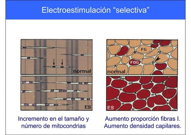 Incremento en el tamaño y número de mitocondrias Aumento proporción fibras I. Aumento densidad capilares. Electroestimulac...