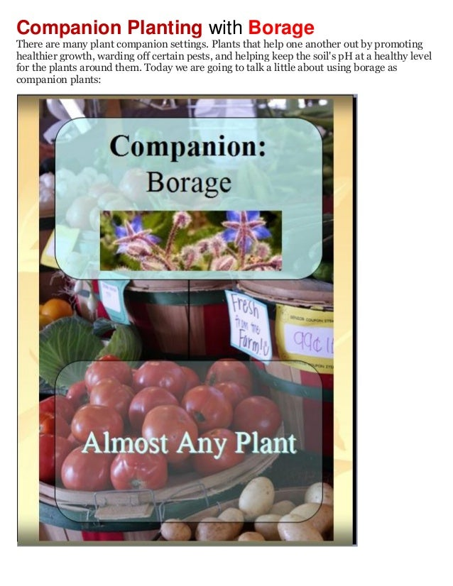 Companion Planting with BorageThere are many plant companion settings. Plants that help one another out by promotinghealth...