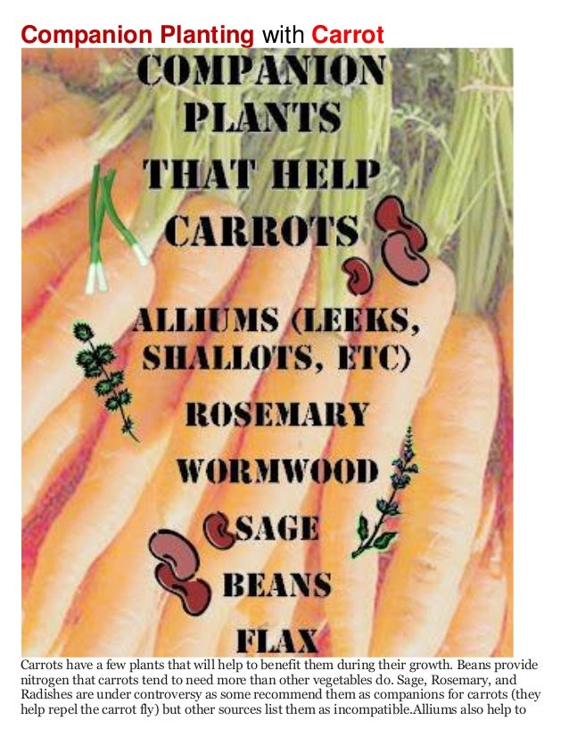 Companion Planting with CarrotCarrots have a few plants that will help to benefit them during their growth. Beans providen...