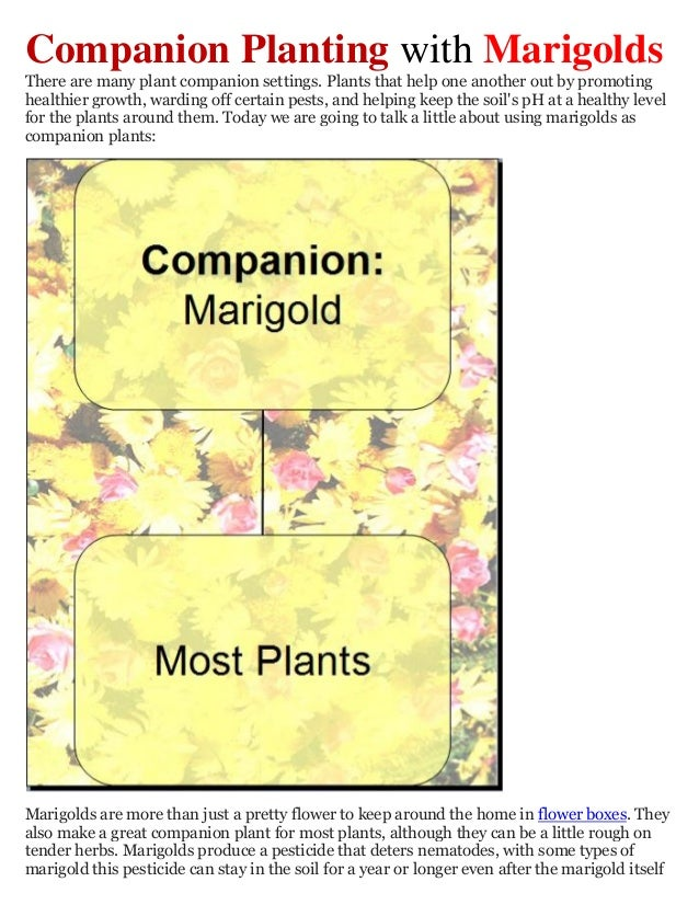 Companion Planting with MarigoldsThere are many plant companion settings. Plants that help one another out by promotinghea...