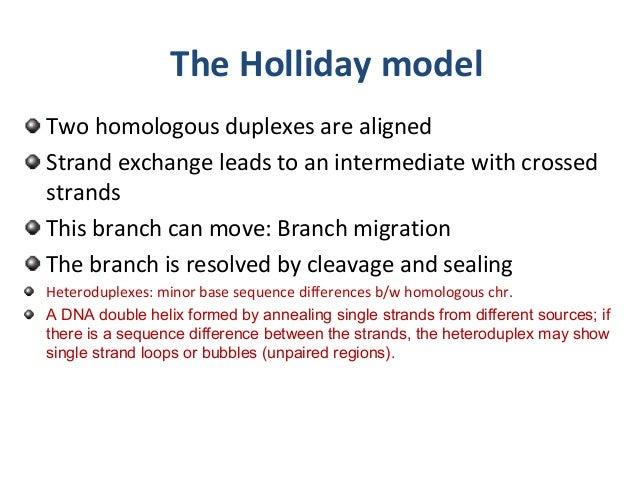 Holliday model genetics chromosomal structural changes holliday model 2 ccuart Images