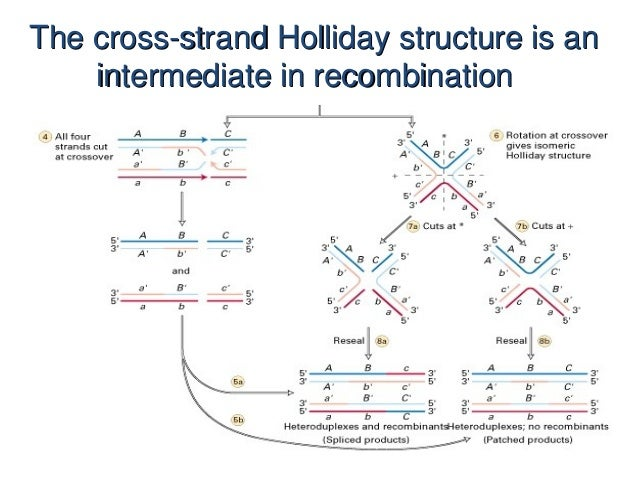 Holliday model genetics chromosomal structural changes the cross strand holliday structure is an intermediate in recombination 4 ccuart Gallery