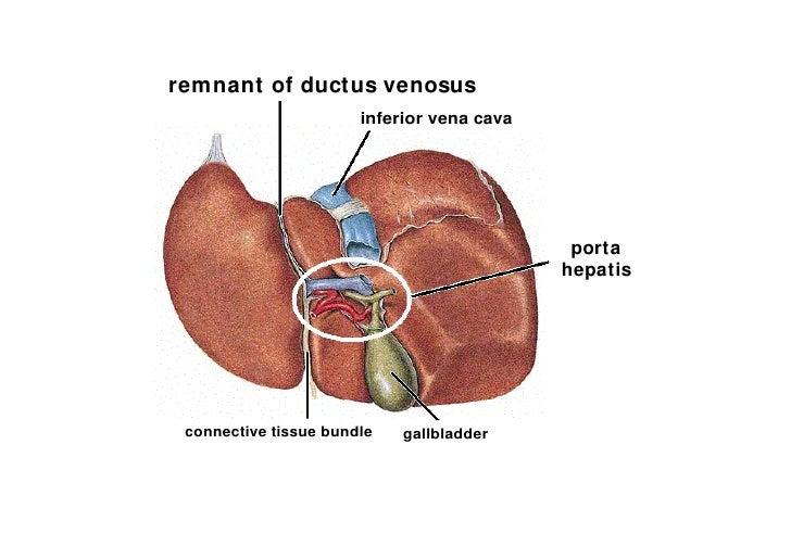 Anatomy of liver