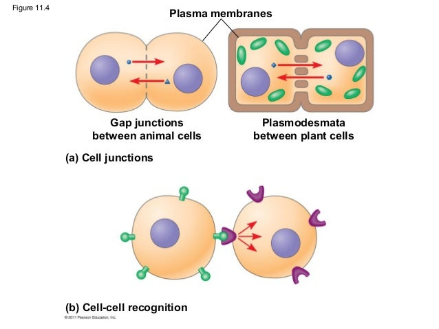"cell communication essay questions Cell membranes, transport, and communication sucrose will diffuse into the cell e the question stem tells the reader that the ""cell"" is impermeable to starch."