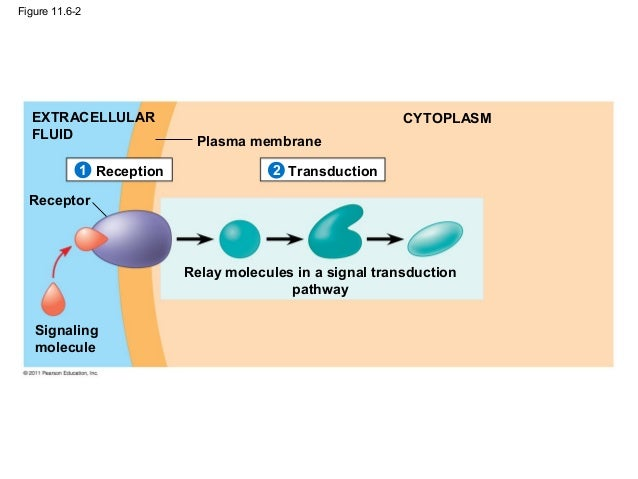 Ch 11 Cell Communication