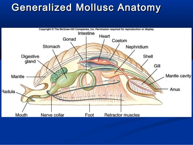 Generalized Mollusc AnatomyGeneralized Mollusc Anatomy
