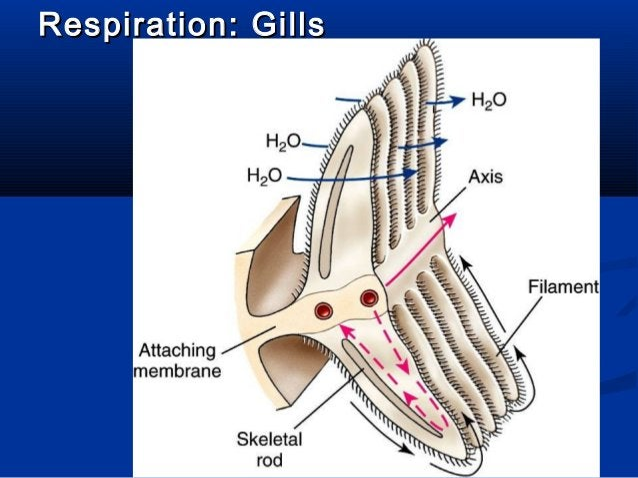 Respiration: GillsRespiration: Gills