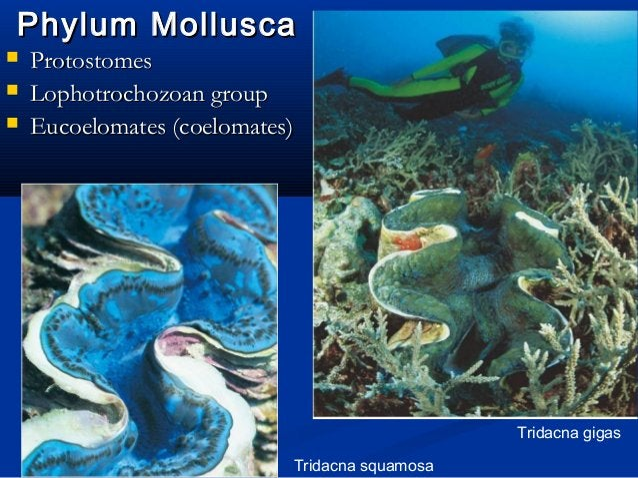 Phylum MolluscaPhylum Mollusca  ProtostomesProtostomes  Lophotrochozoan groupLophotrochozoan group  Eucoelomates (coelo...