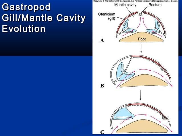 Generalized Gastropod AnatomyGeneralized Gastropod Anatomy