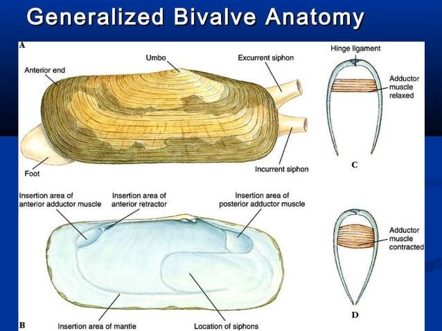 Generalized Bivalve AnatomyGeneralized Bivalve Anatomy (XS)(XS)
