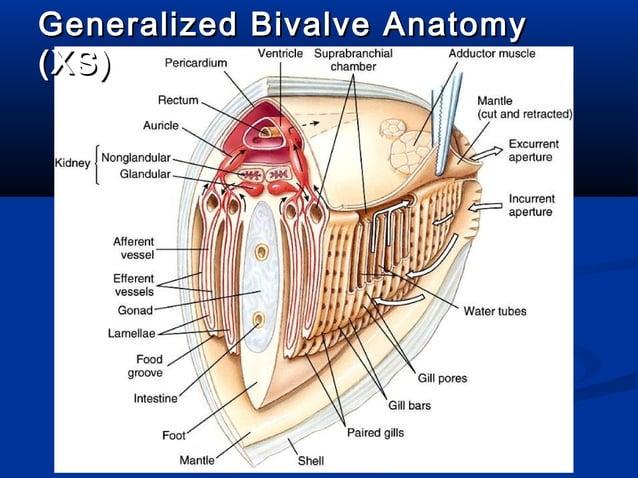 Bivalve Anatomy (Sagittal)Bivalve Anatomy (Sagittal)