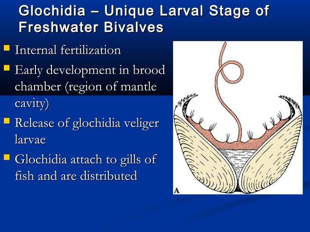 Phylum Mollusca, Class CephalopodaPhylum Mollusca, Class Cephalopoda  Closed circulatory systemClosed circulatory system ...