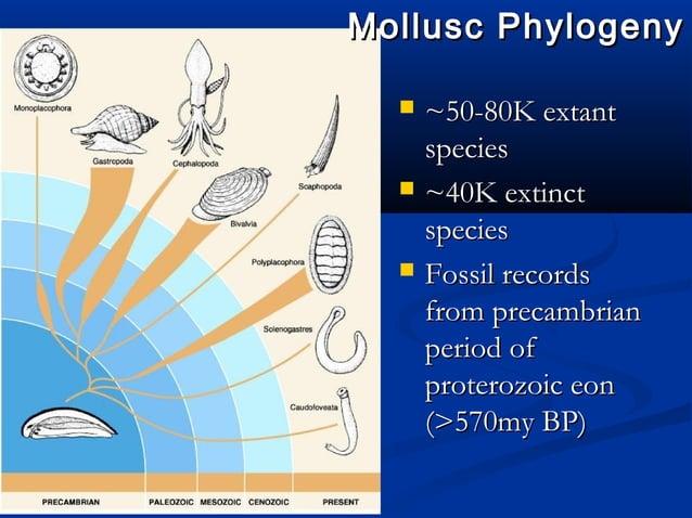 Mollusc PhylogenyMollusc Phylogeny  ~50-80K extant~50-80K extant speciesspecies  ~40K extinct~40K extinct speciesspecies...