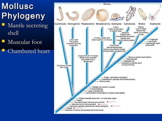 MolluscMollusc PhylogenyPhylogeny  Mantle secretingMantle secreting shellshell  Muscular footMuscular foot  Chambered h...