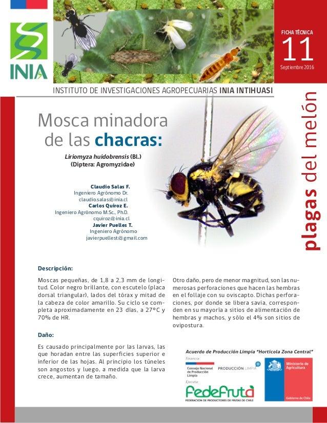 FICHA TÉCNICA 11 INSTITUTO DE INVESTIGACIONES AGROPECUARIAS INIA INTIHUASI plagasdelmelón Liriomyza huidobrensis (Bl.) (Di...