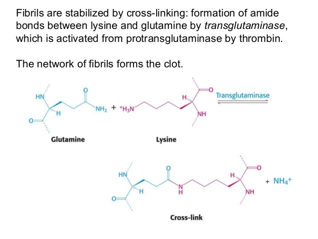 Fibrils are stabilized by cross-linking: formation of amidebonds between lysine and glutamine by transglutaminase,which is...