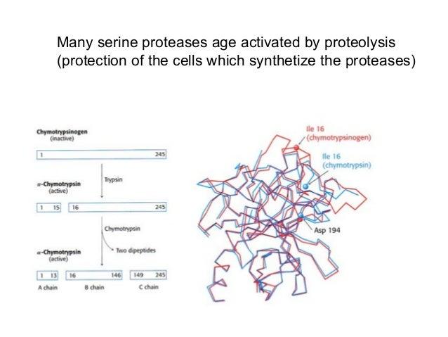 ActivesiteresiduesHydrophobicpocketSerine Protease Mechanism - Chymotrypsin
