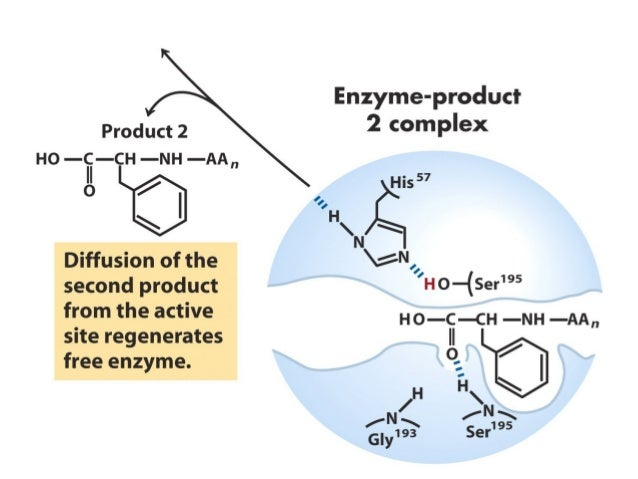3. Ascertaining the role of specific amino acids in catalysis bysite-directed mutagenesis can easily by interpreted if the...