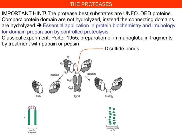 IMPORTANT HINT! The protease best substrates are UNFOLDED proteins.Compact protein domain are not hydrolyzed, instead the ...