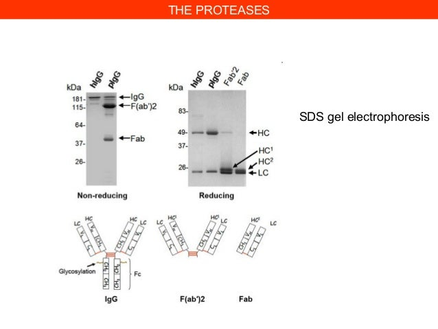 THE PROTEASESSDS gel electrophoresis