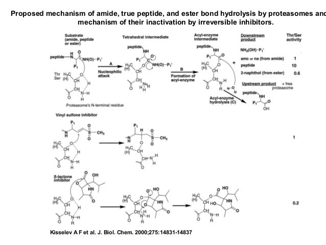 11  proteases.ppt